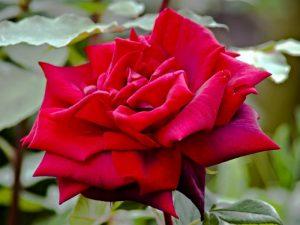 казка Найпрекрасніша троянда світу