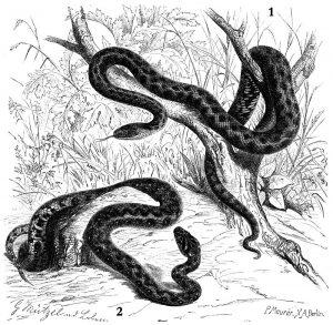 Допомога зміїного царя